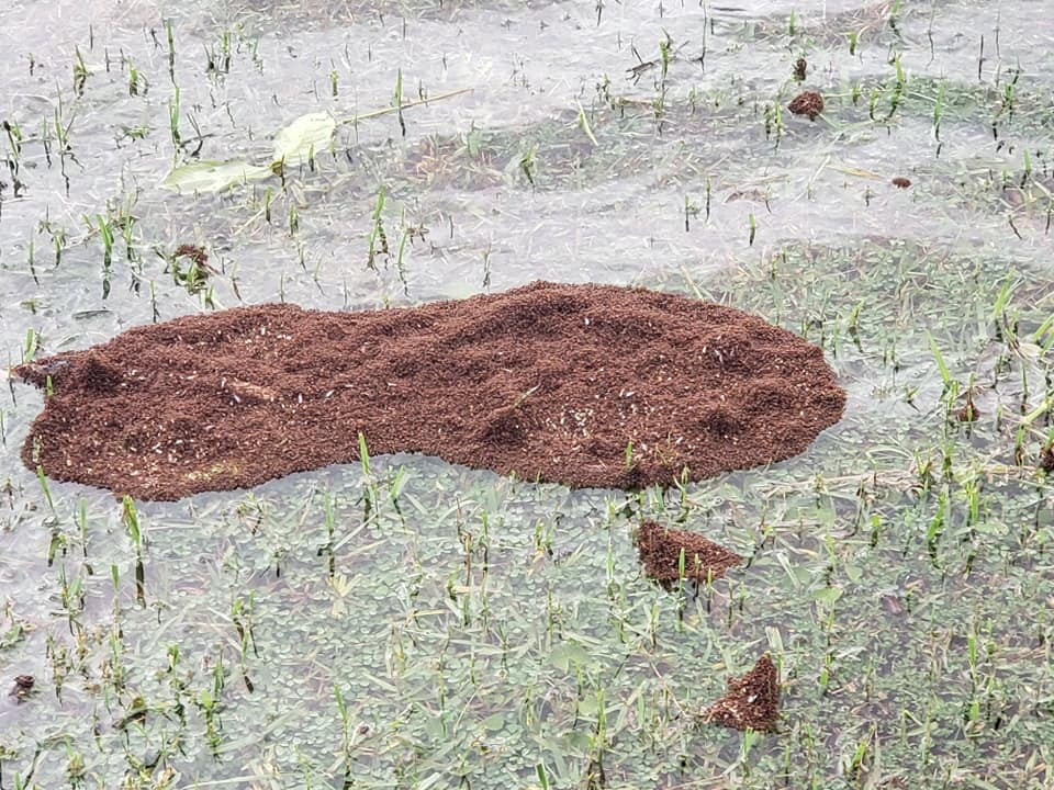 What We Can Learn From How Fire Ants React When They Are Caught in a Storm
